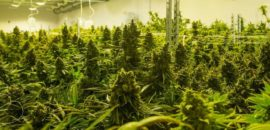 Medical Marijuana Offers Relief For A Variety Of Ailments And Diseases